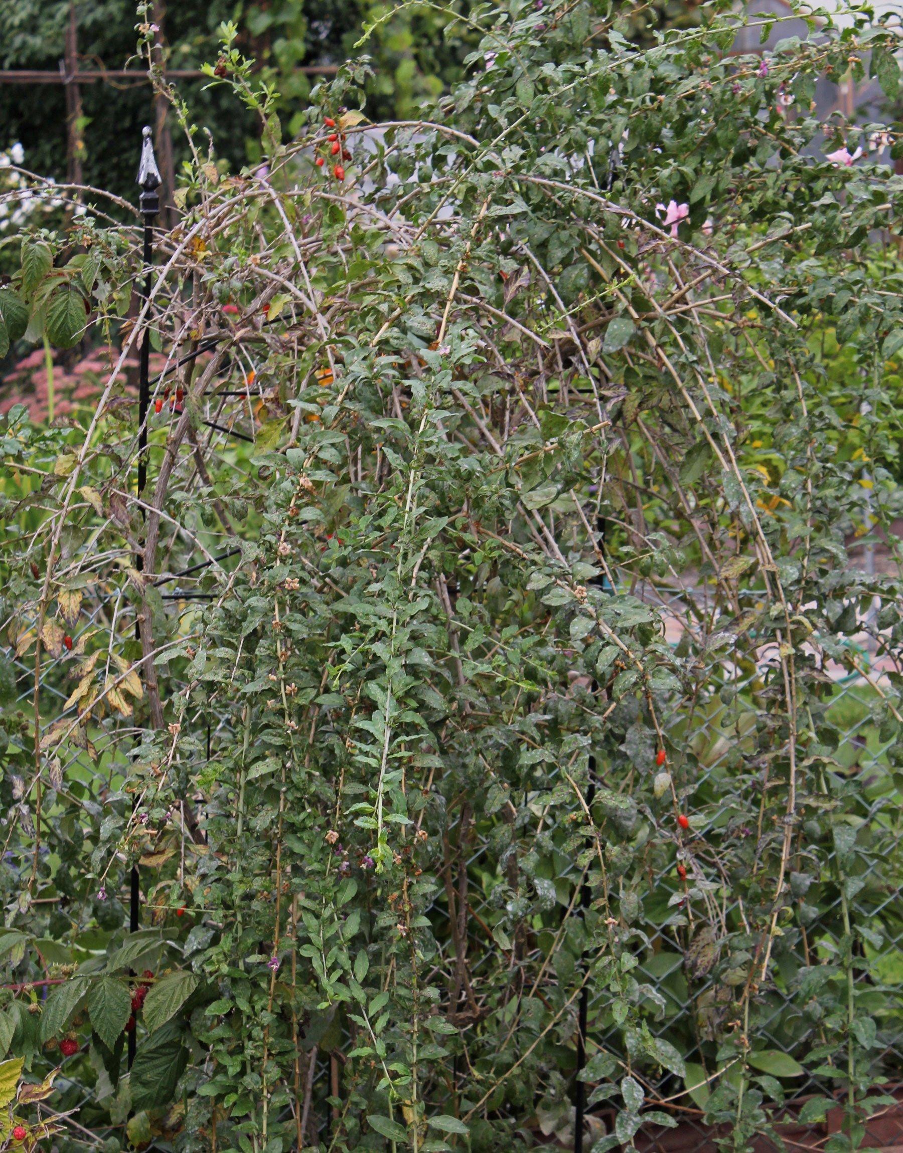 Bocksdorn im Garten