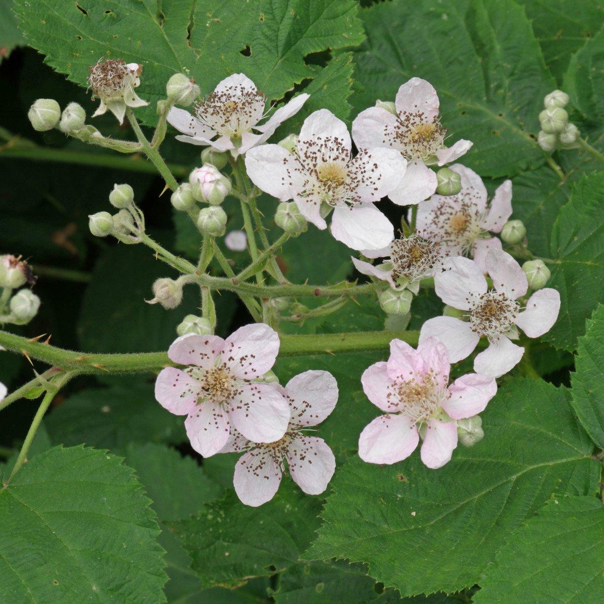 Brombeere Blüten