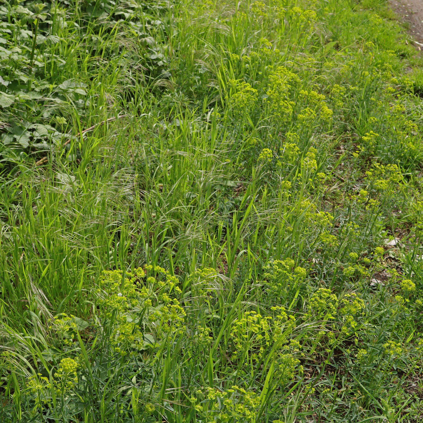 Euphorbia esula am Wegrand