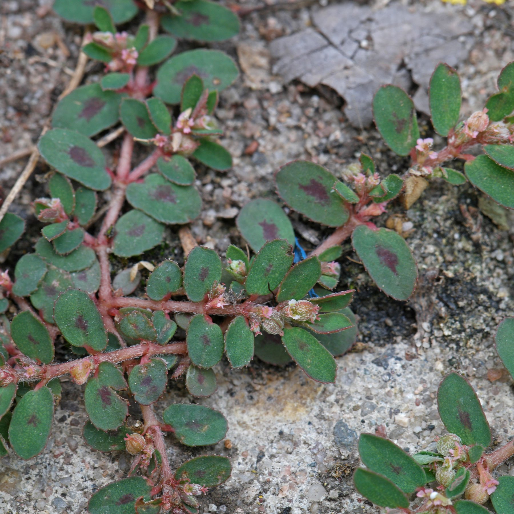 Euphorbia maculata in Pflasterfuge