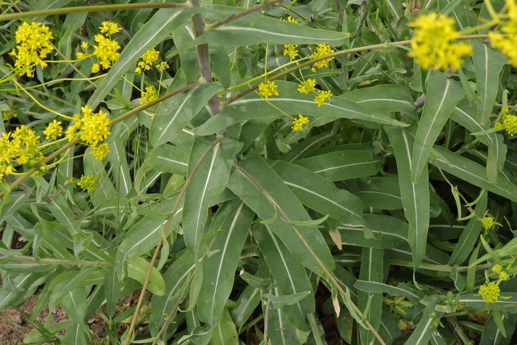 Färber-Waid Blätter