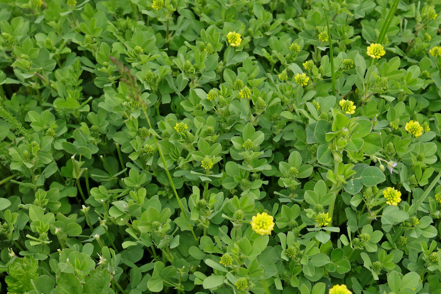 Feld-Klee Blätter
