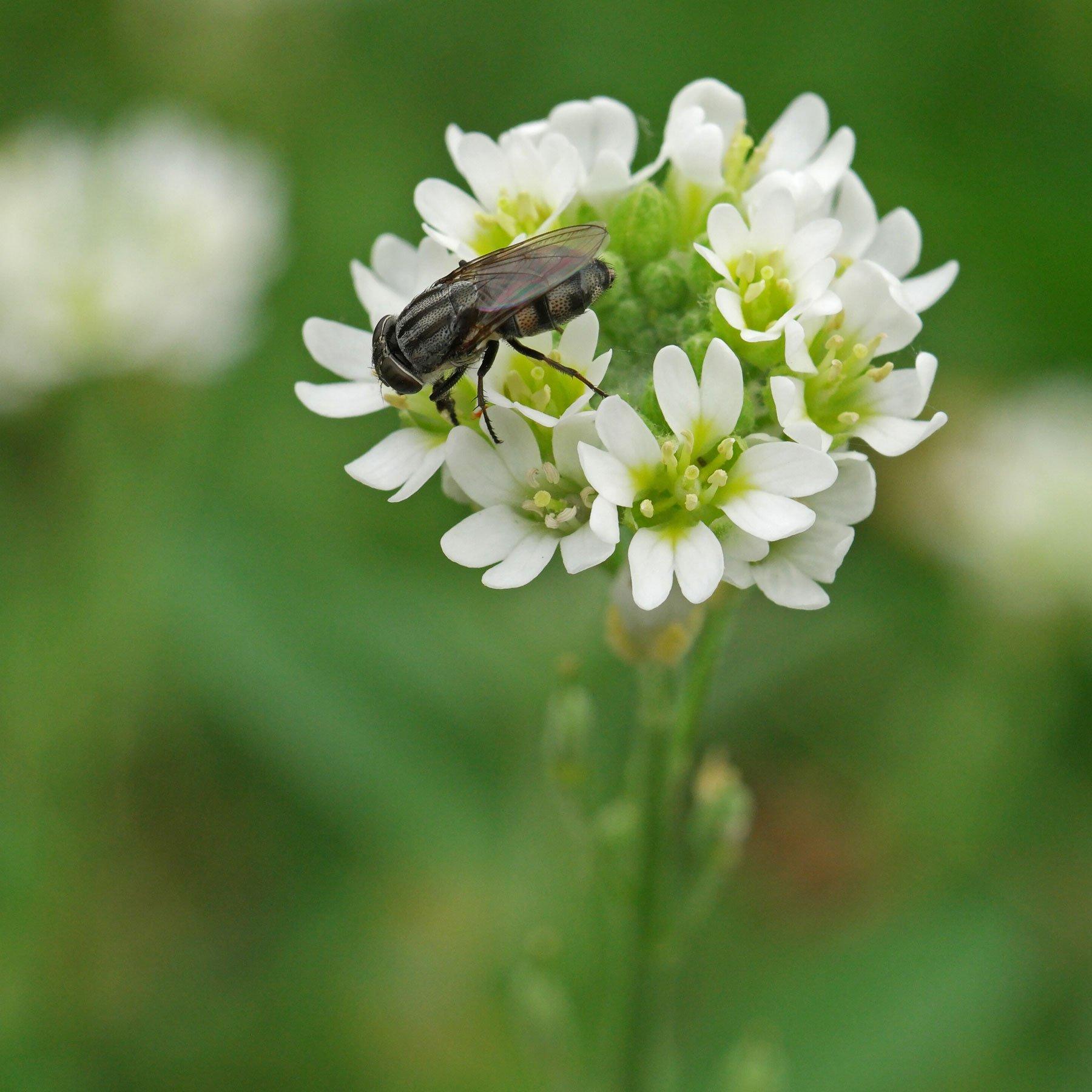 Fliege auf Graukresse