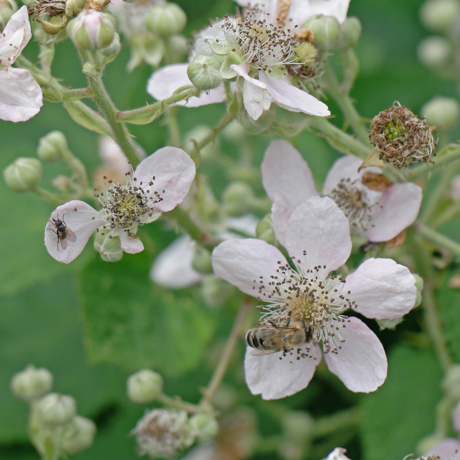 Fliege und Honigbiene auf Brombeere