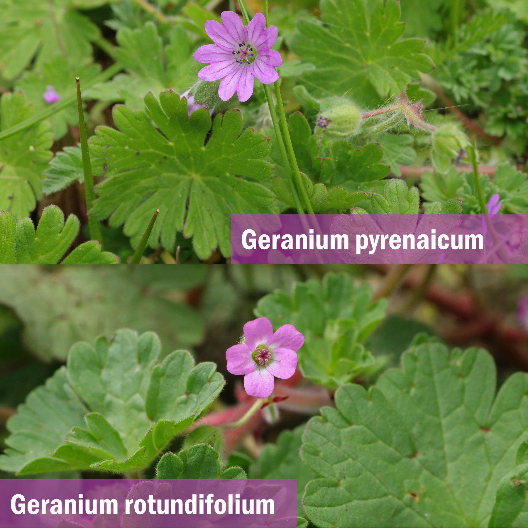 Geranium pyrenaicum und Geranium rotundifolium
