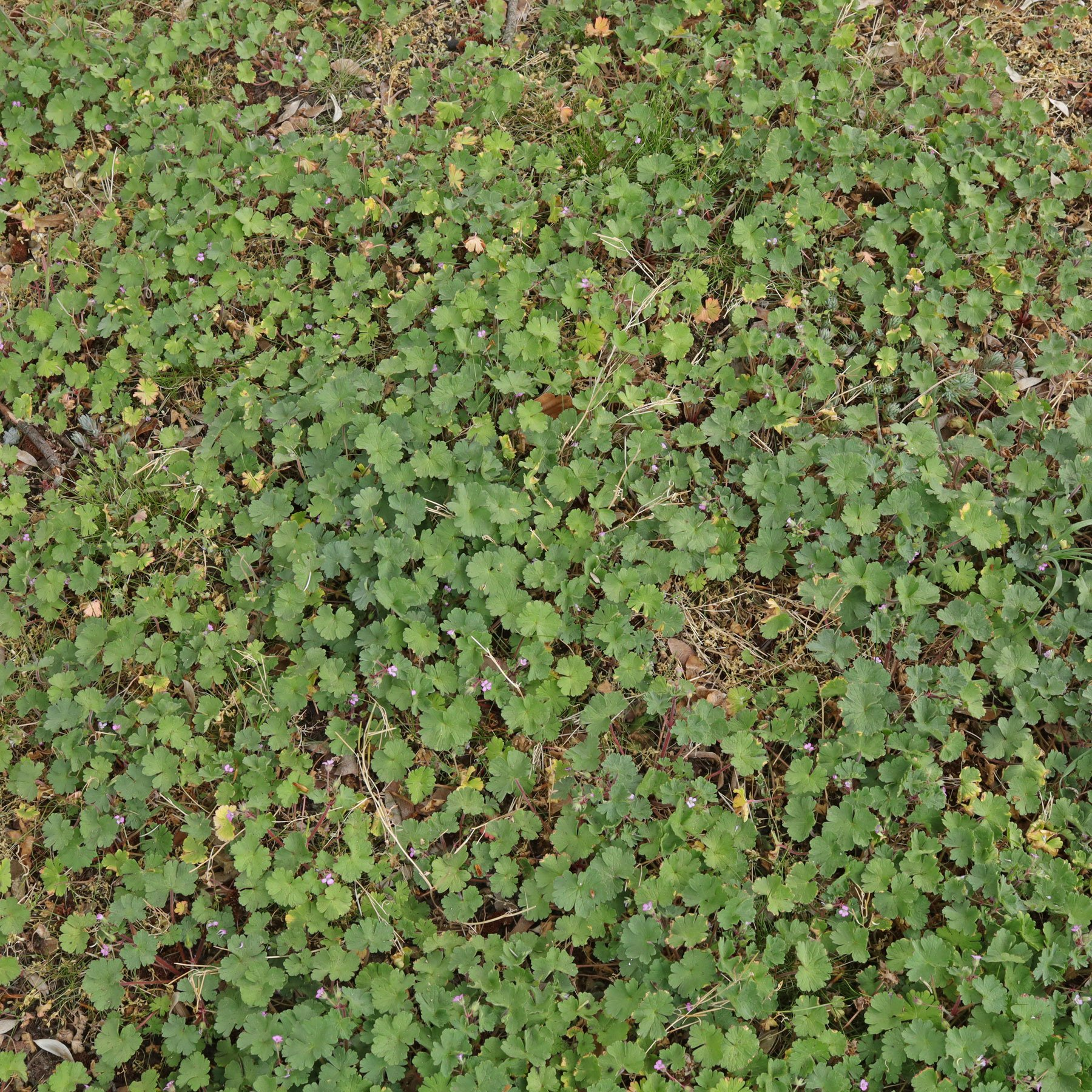 Geranium rotundifolium Bestand