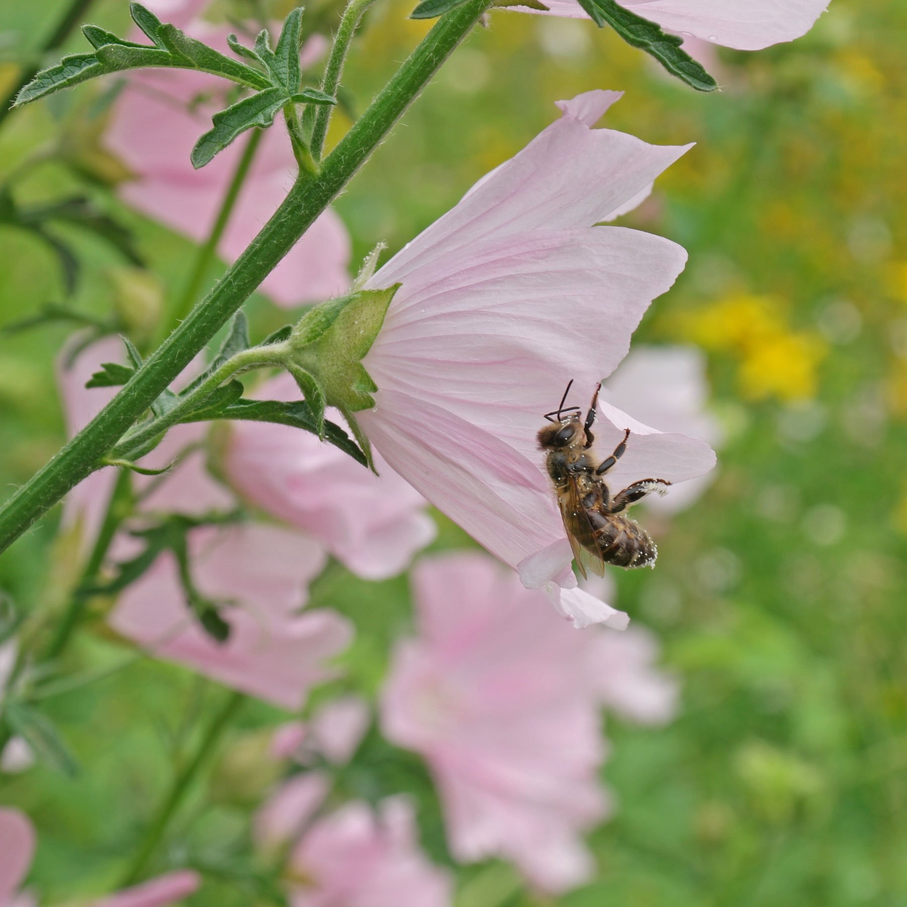 Honigbiene an Rosen-Malve