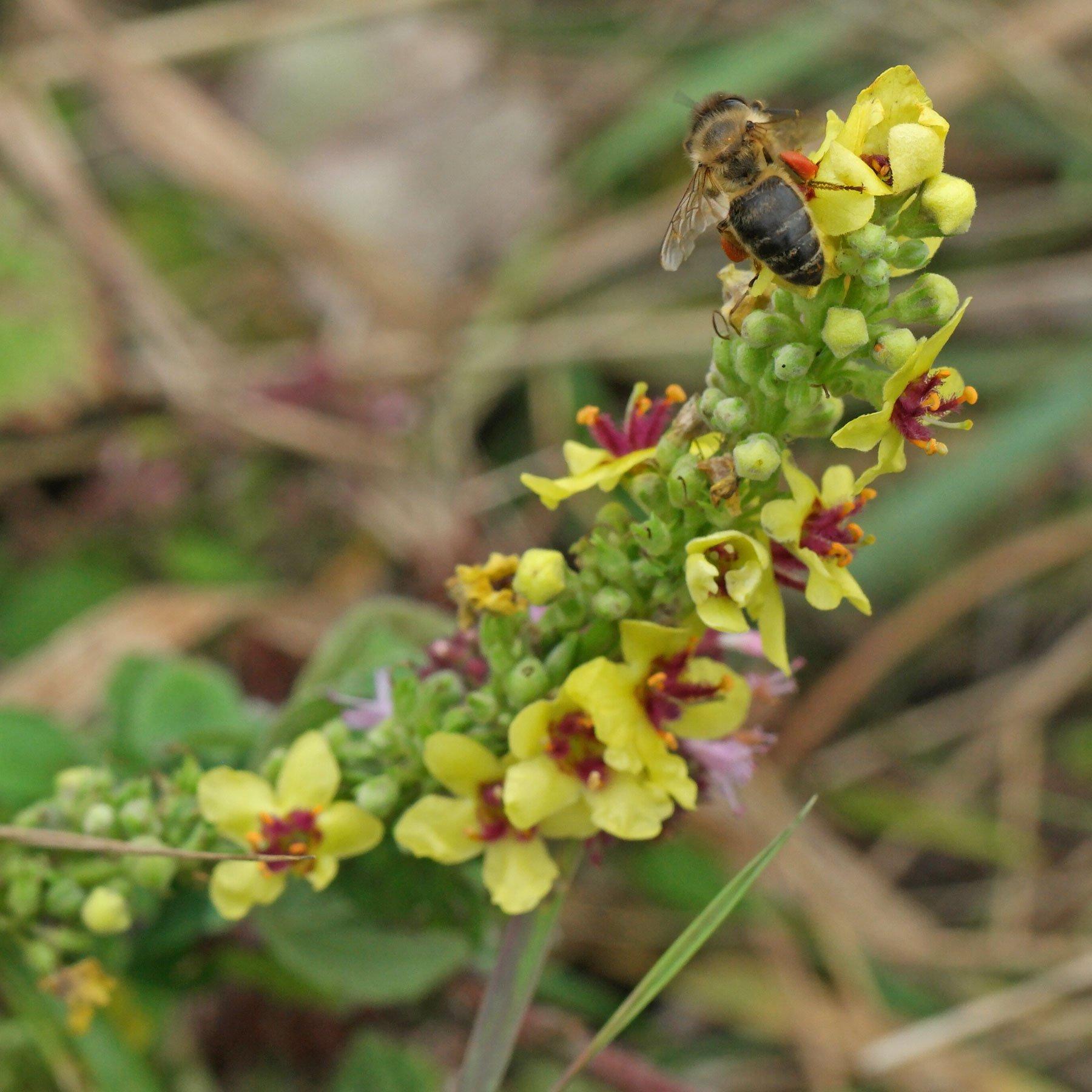 Honigbiene auf Königskerze