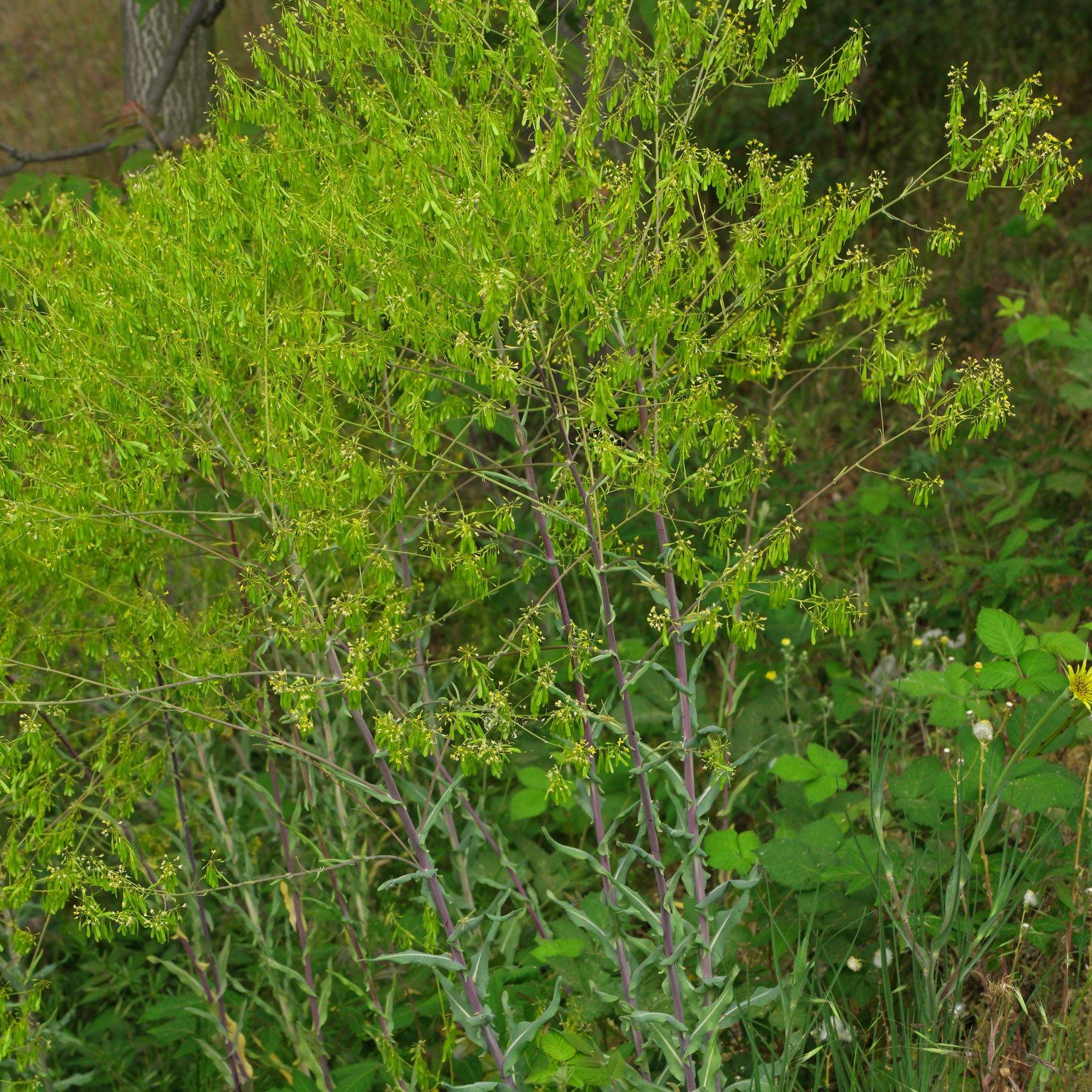Isatis tinctoria Früchte
