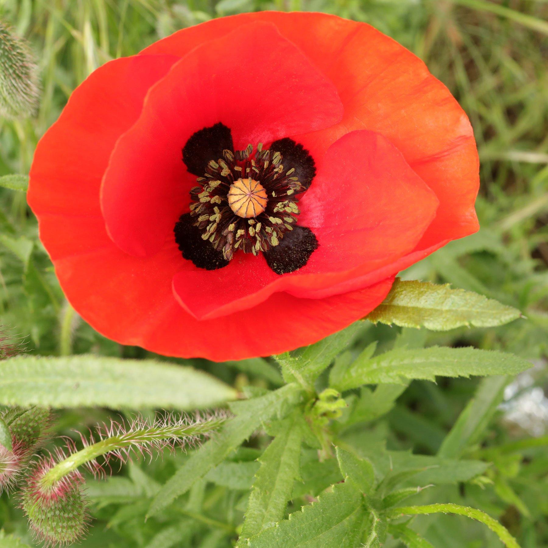 Klatsch-Mohn Blütenflecken