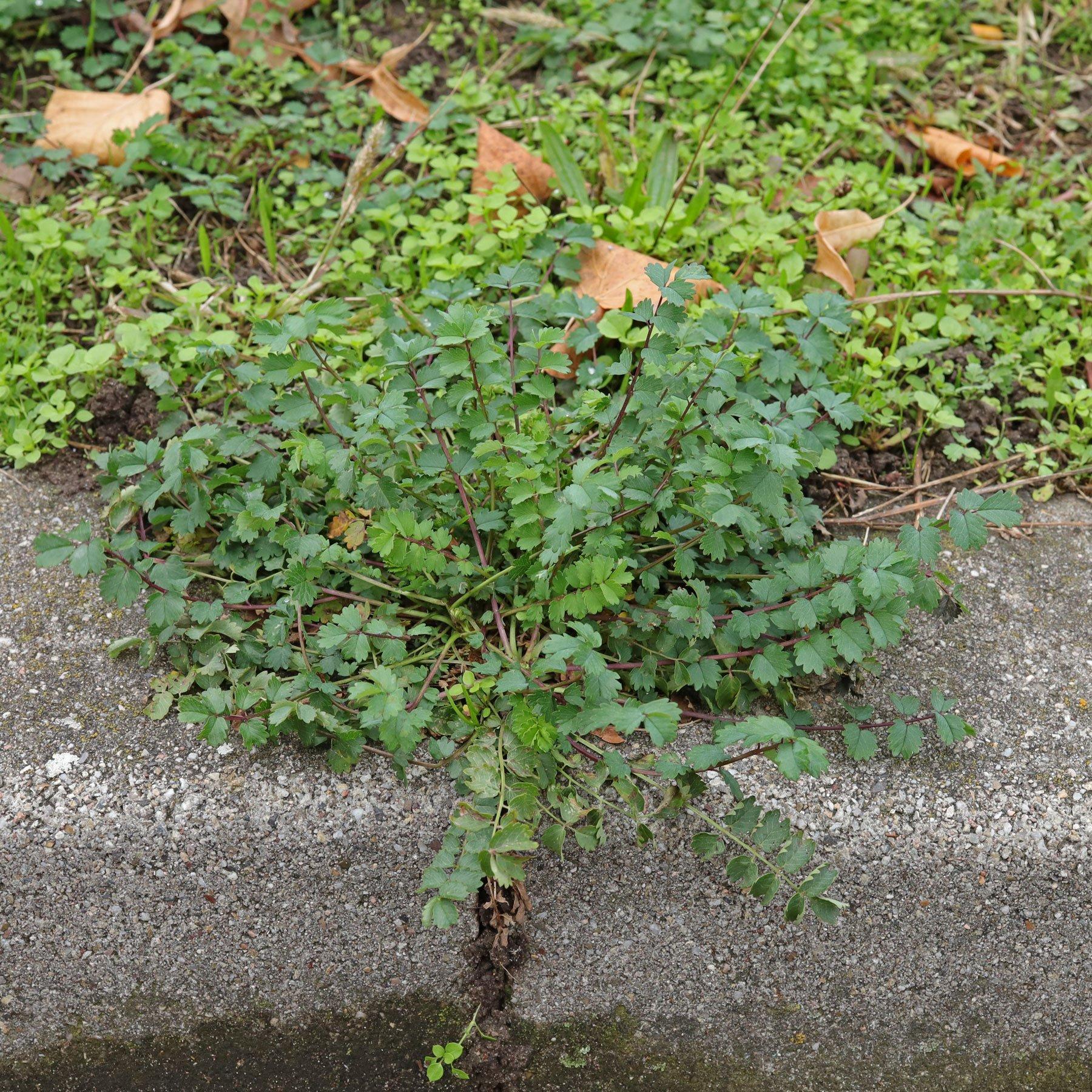 Kleiner Wiesenknopf auf Bordstein