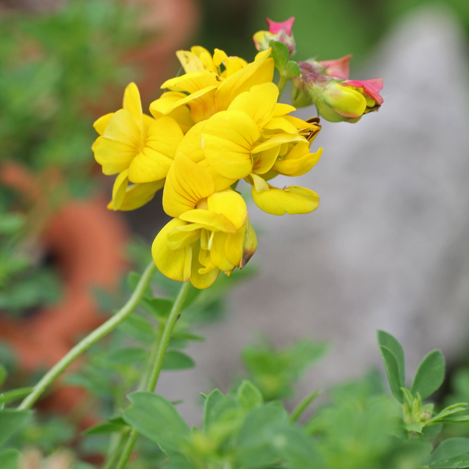 Lotus corniculatus Pleniflorus