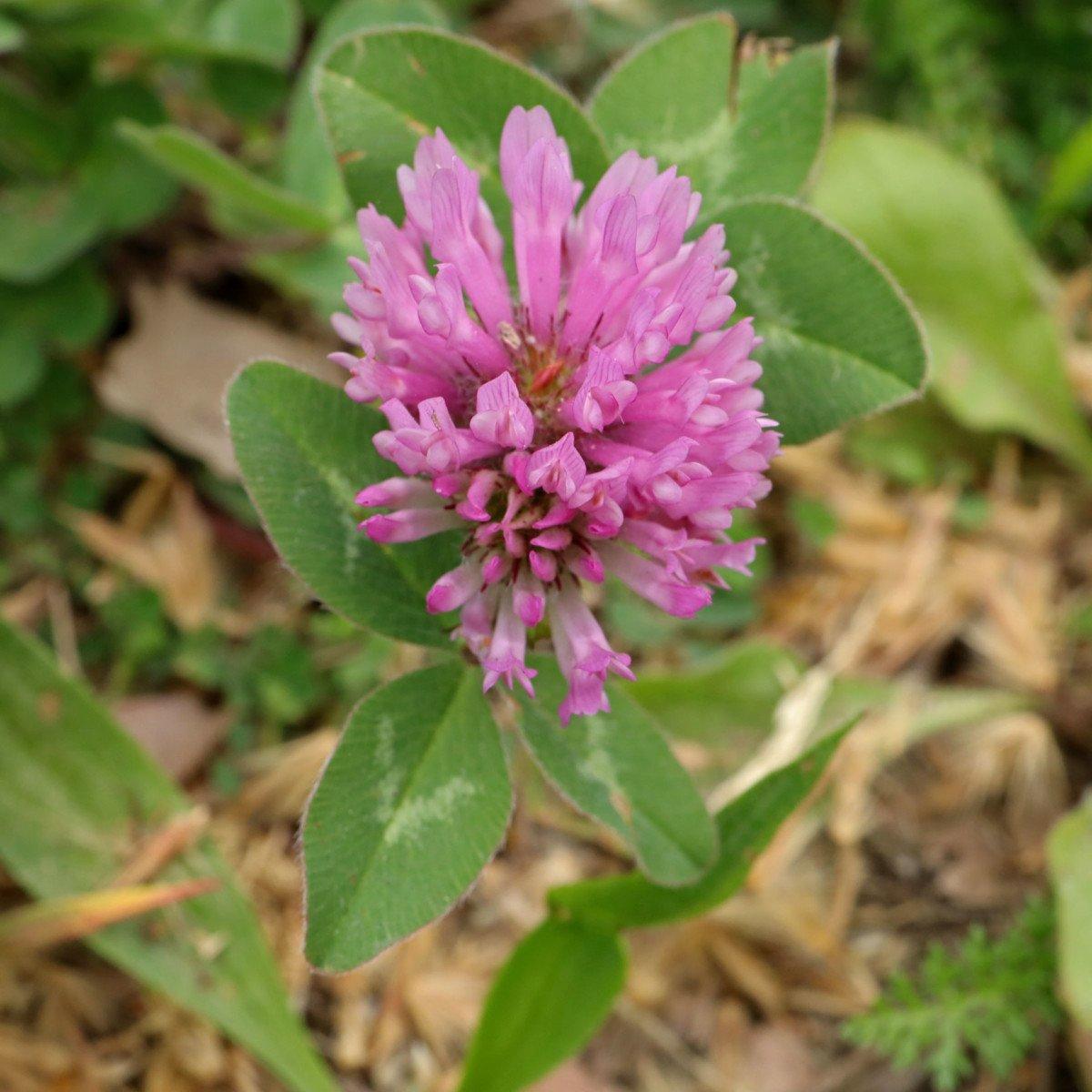 Rot Klee Trifolium pratense