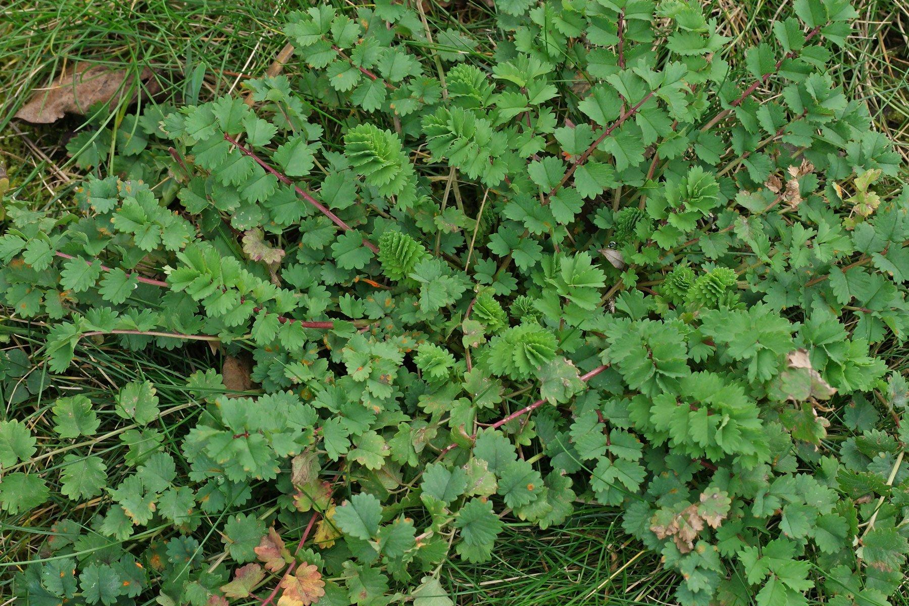 Sanguisorba minor Blätter
