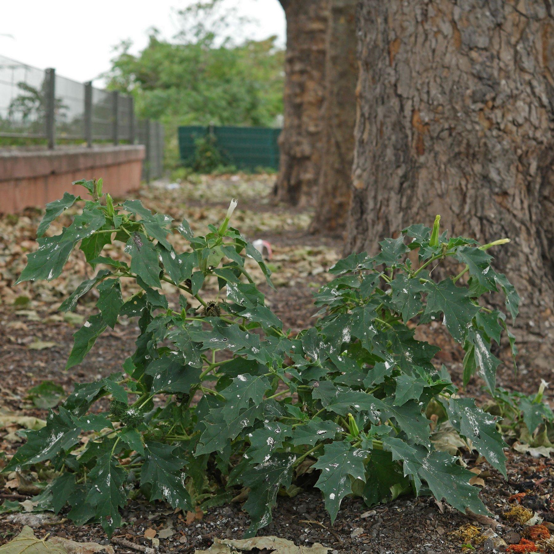 Stechapfel unter Platane