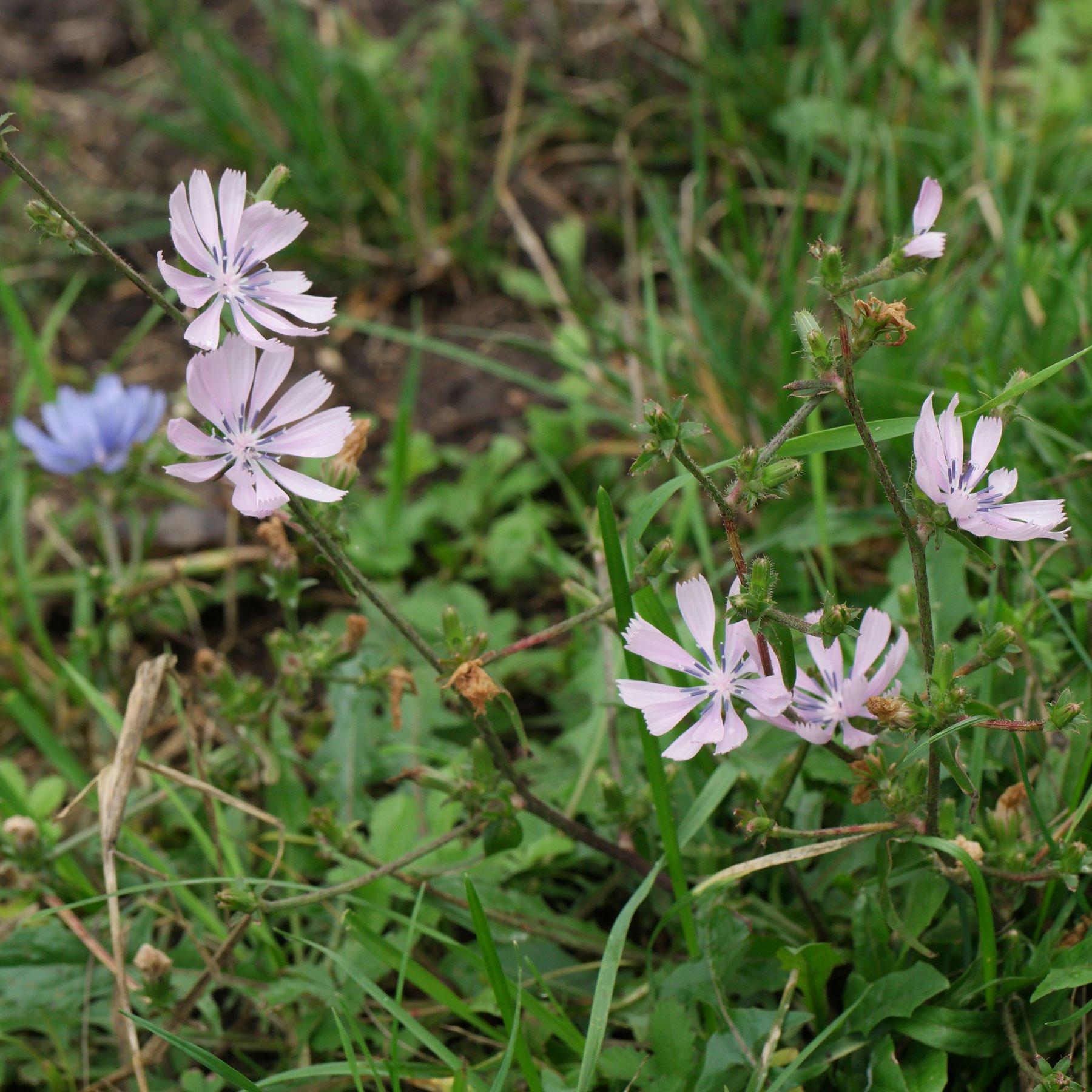 Wegwarte rosa Blüten