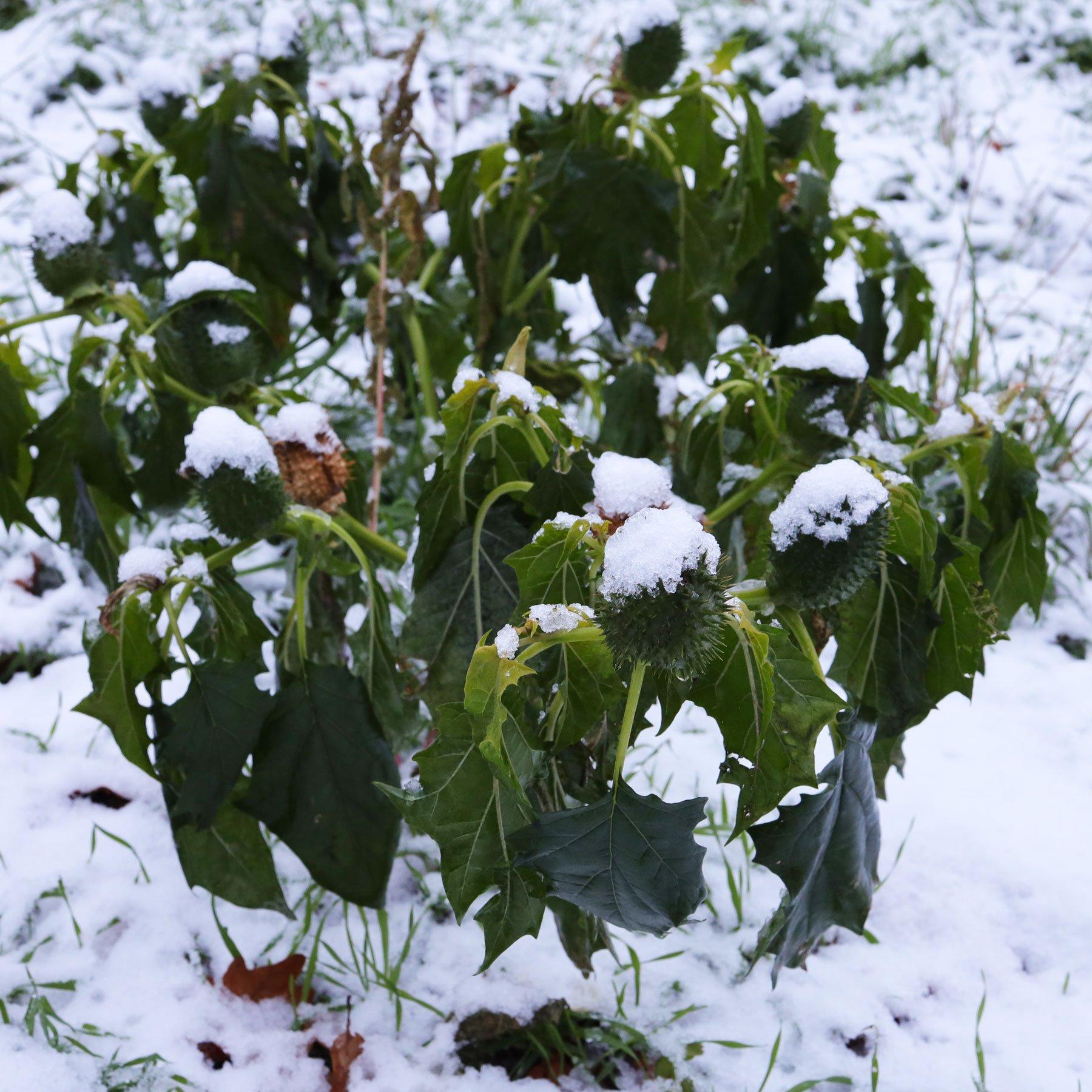 Weißer Stechapfel im Schnee