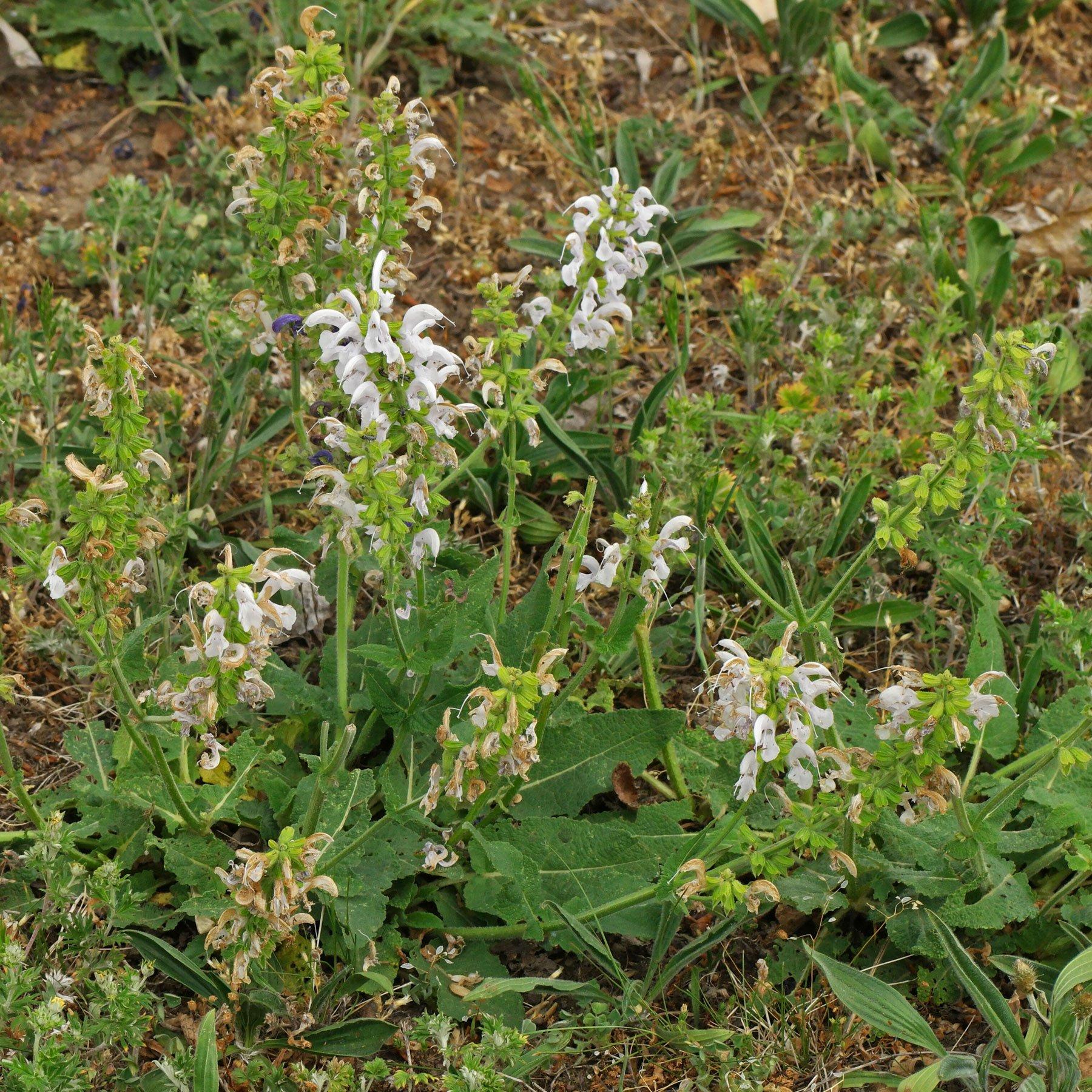 Weißer Wiesen Salbei