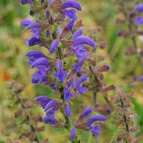 Wiesen-Salbei Salvia pratensis