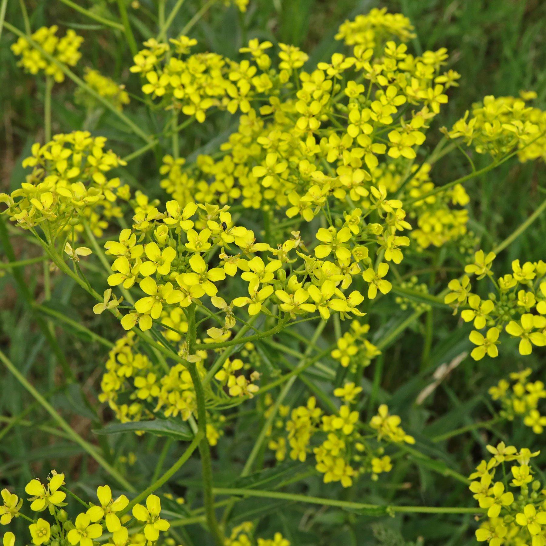 Zackenschötchen Blüten