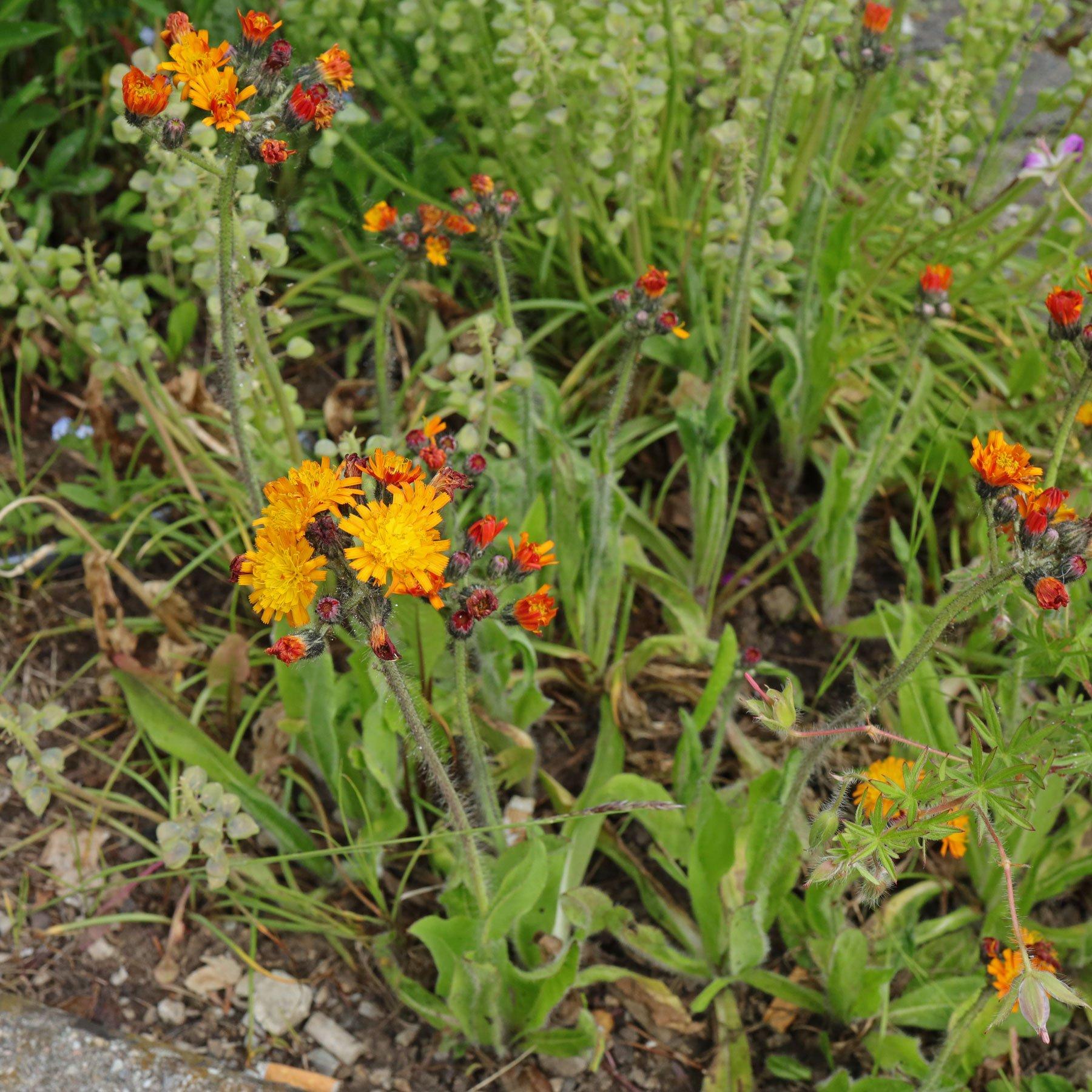Habichtskraut im Garten