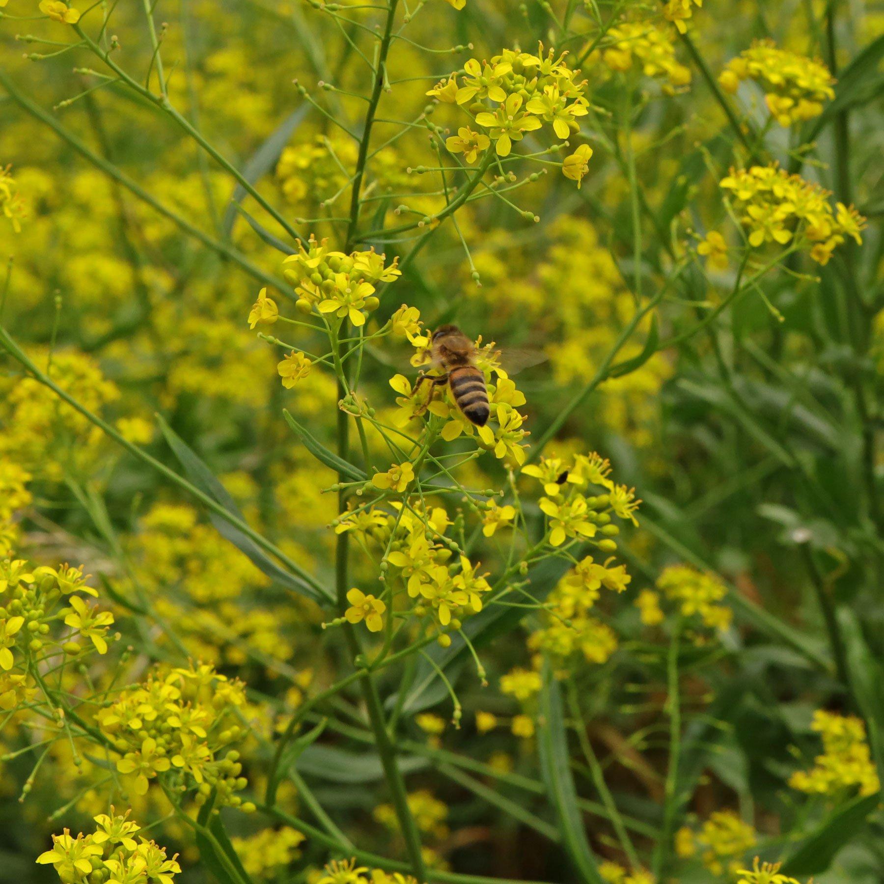 Honigbiene an Sumpfkresse