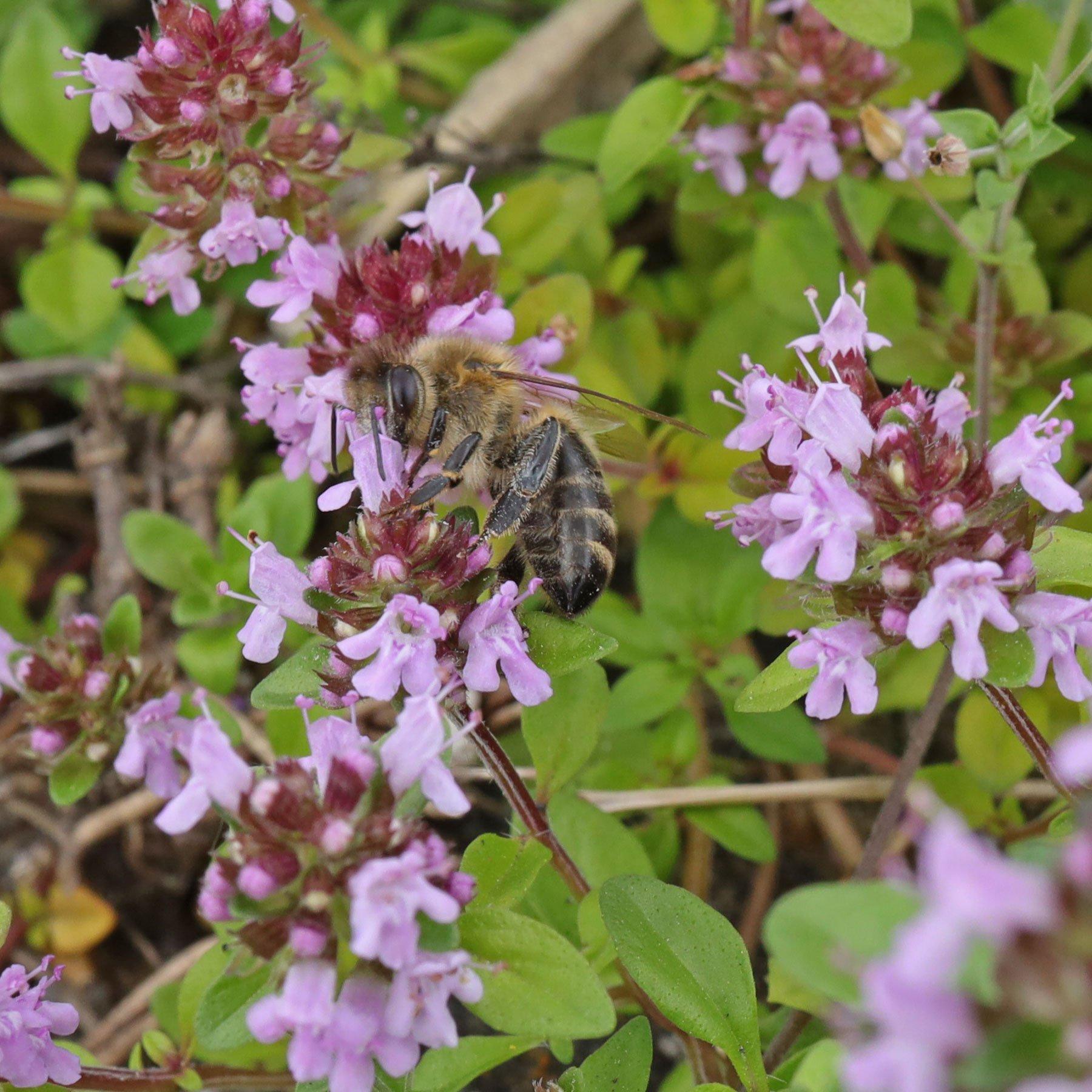 Honigbiene auf Thymian