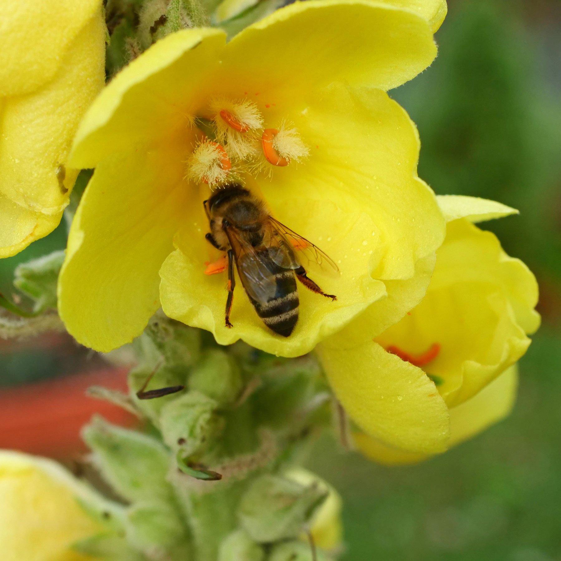 Honigbiene in Koenigskerze