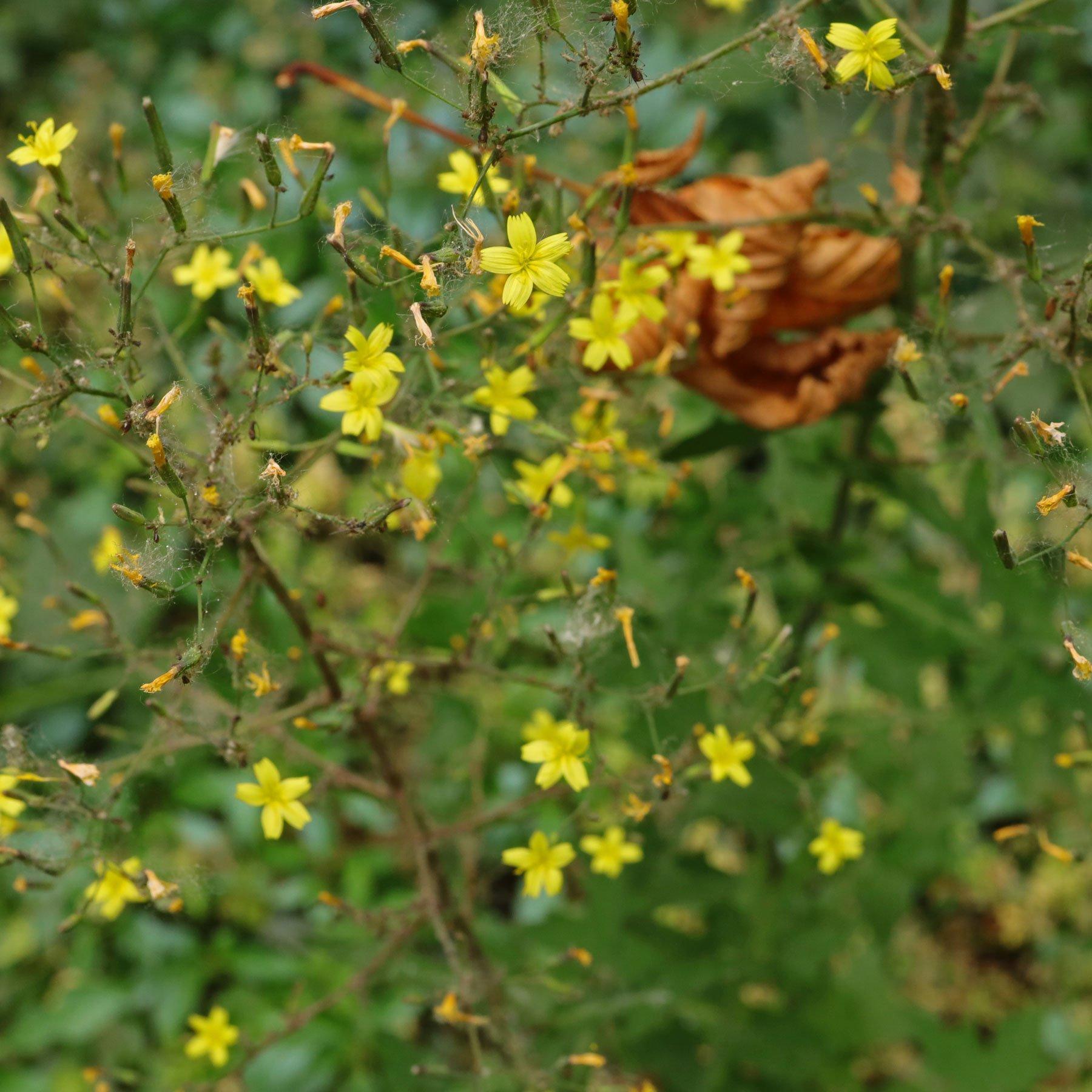 Mauerlattich Blüten