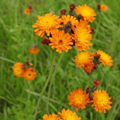 Pilosella aurantiaca Orangerotes Habichtskraut
