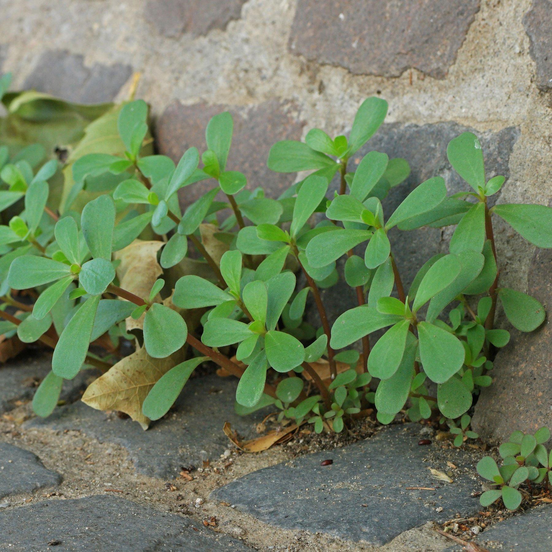 Portulak Jungpflanzen