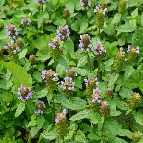 Prunella vulgaris Kleine Braunelle