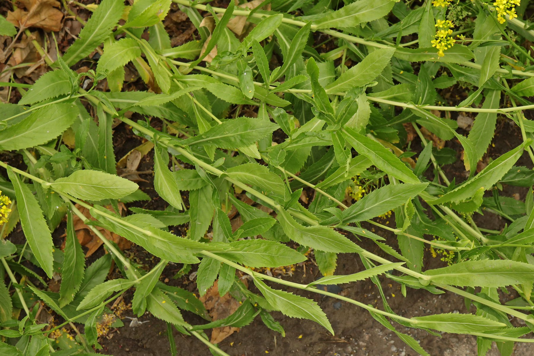 Sumpfkresse Blätter
