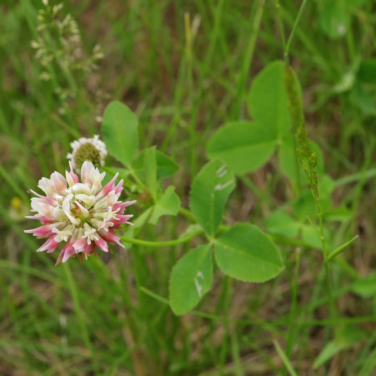 Trifolium hybridum Schweden-Klee