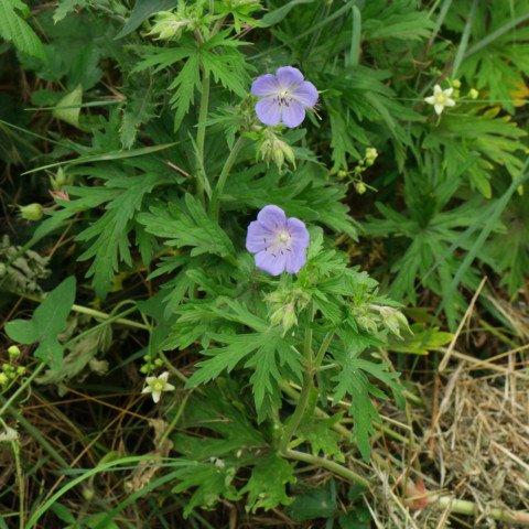 Wiesen-Storchschnabel Geranium pratense