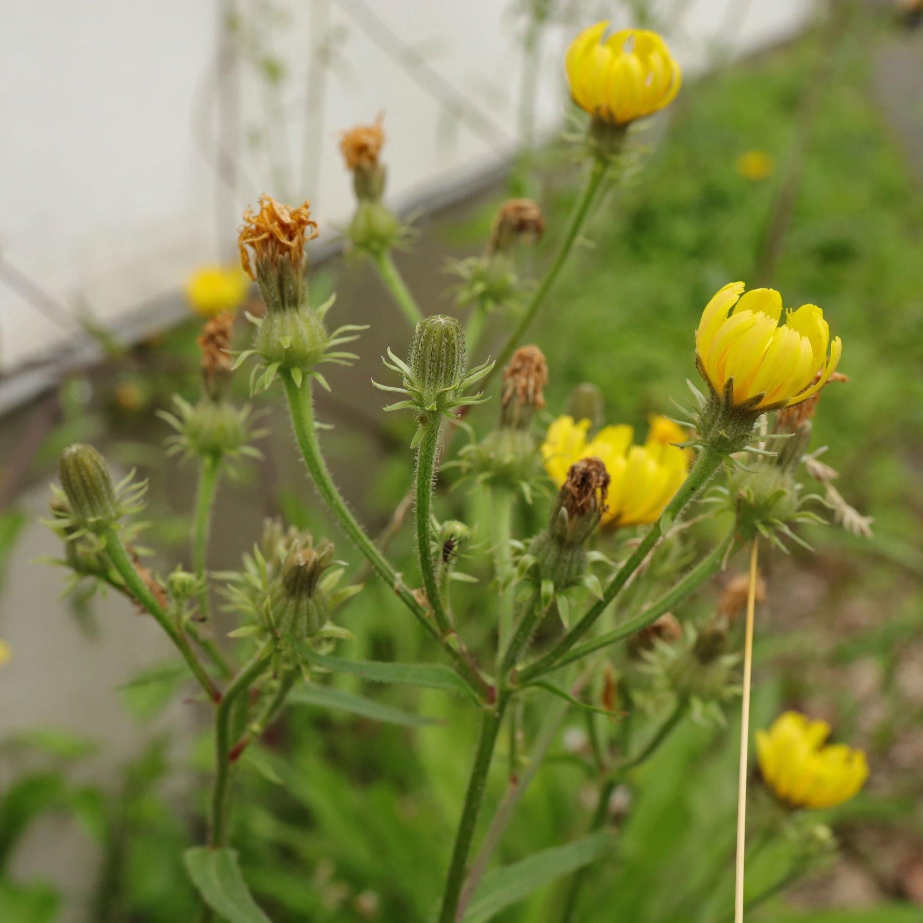 Bitterkraut Blüten