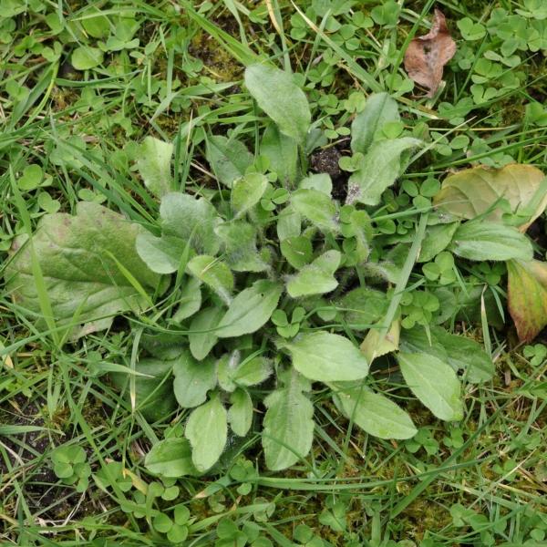 Einjähriges Berufkraut im Rasen