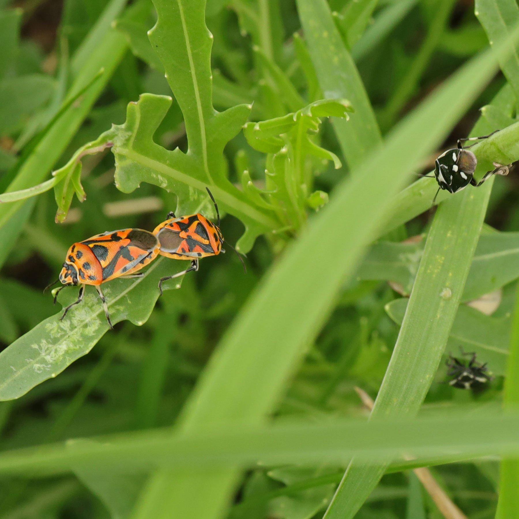 Gemüsewanzen Paarung auf Wilder Rauke