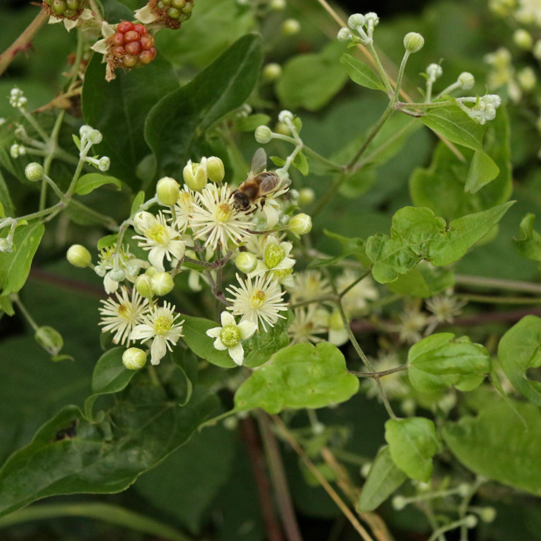 Honigbiene auf Clematis