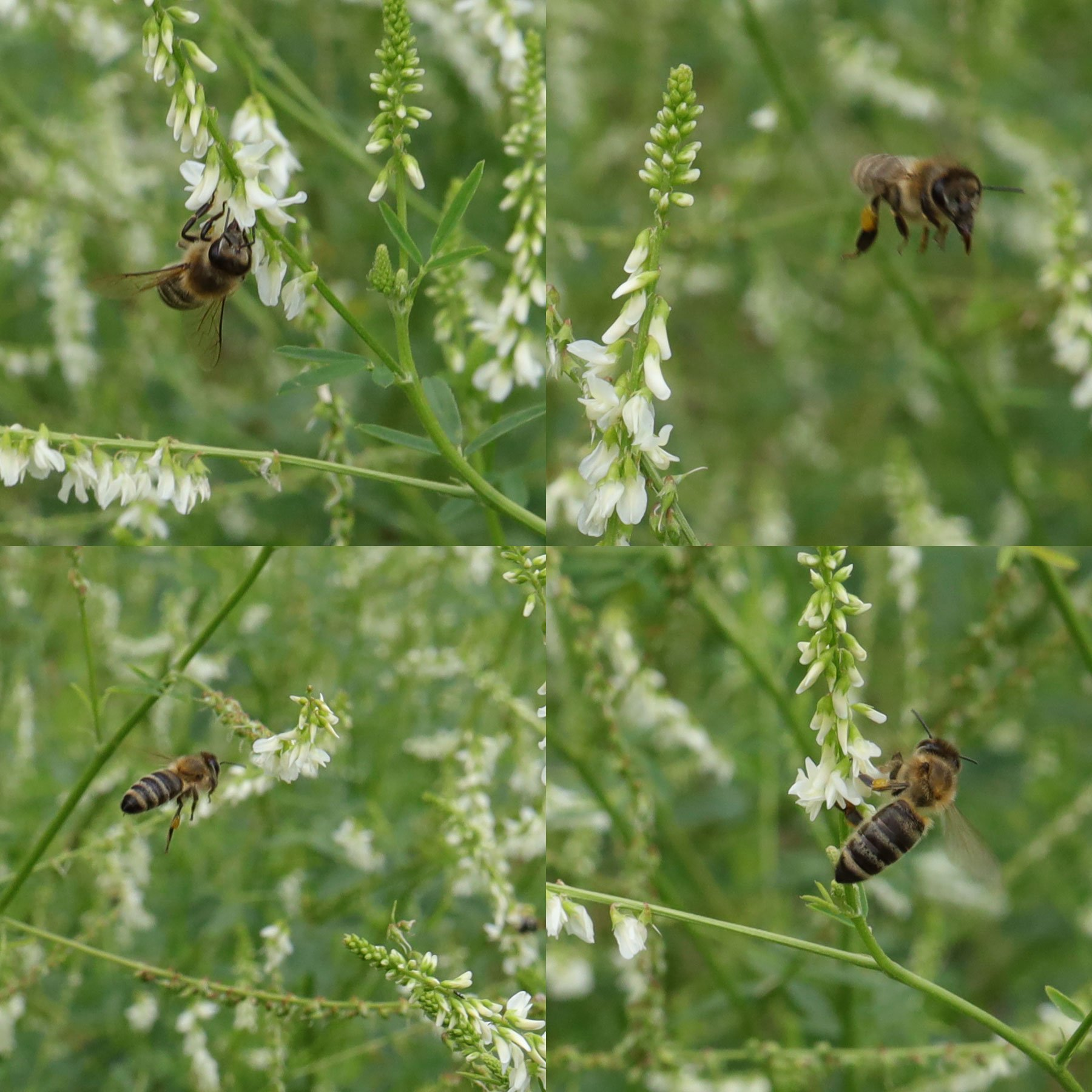 Honigbienen auf Weißklee