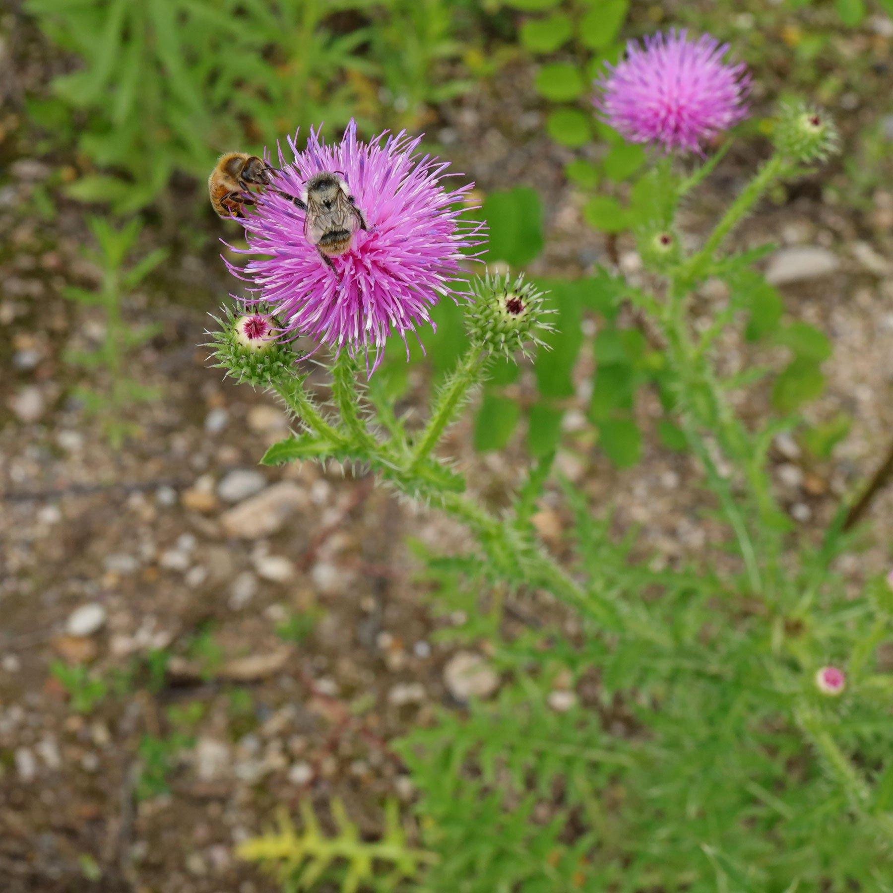 Hummel und Honigbiene auf Weg-Distel