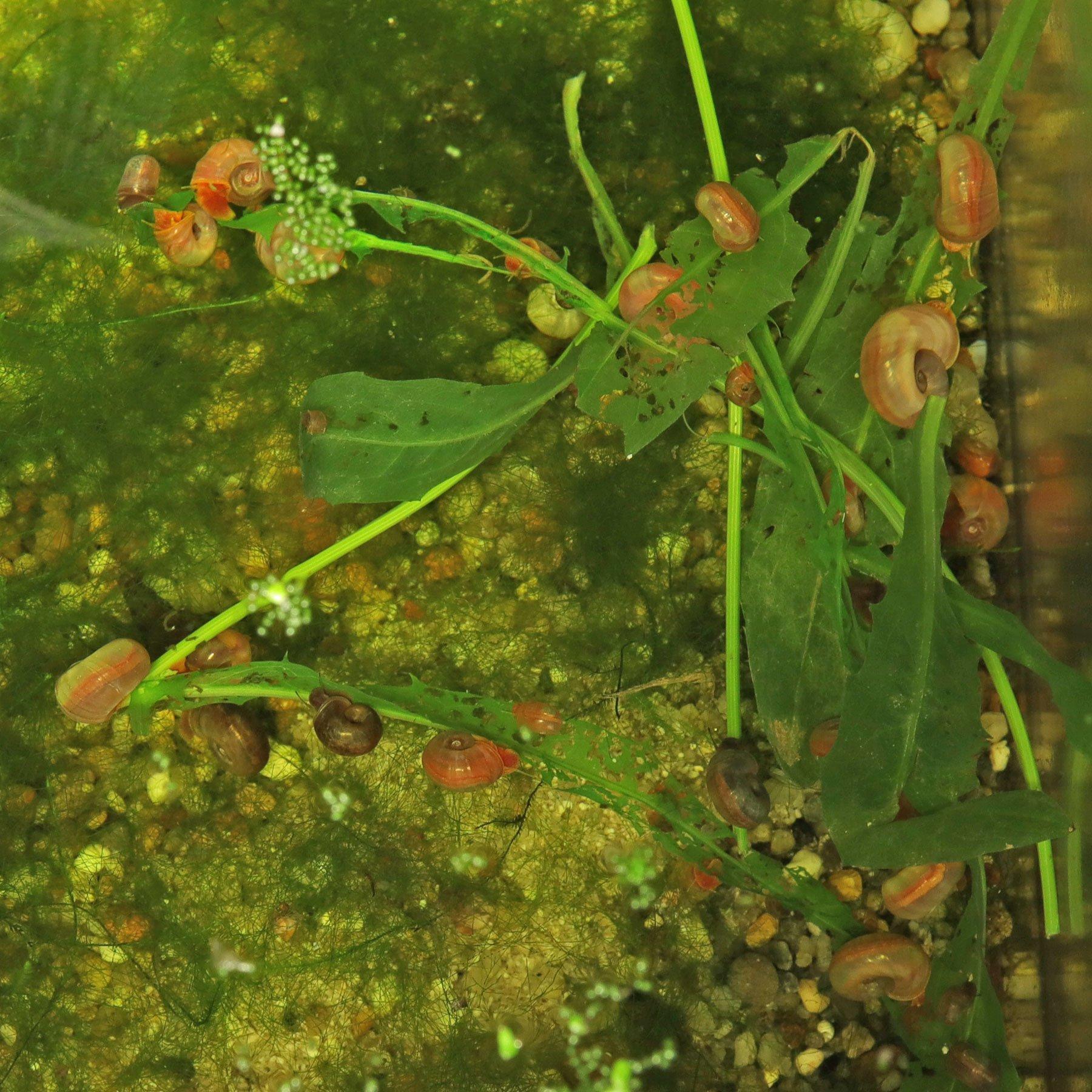 Posthornschnecken fressen Pippau
