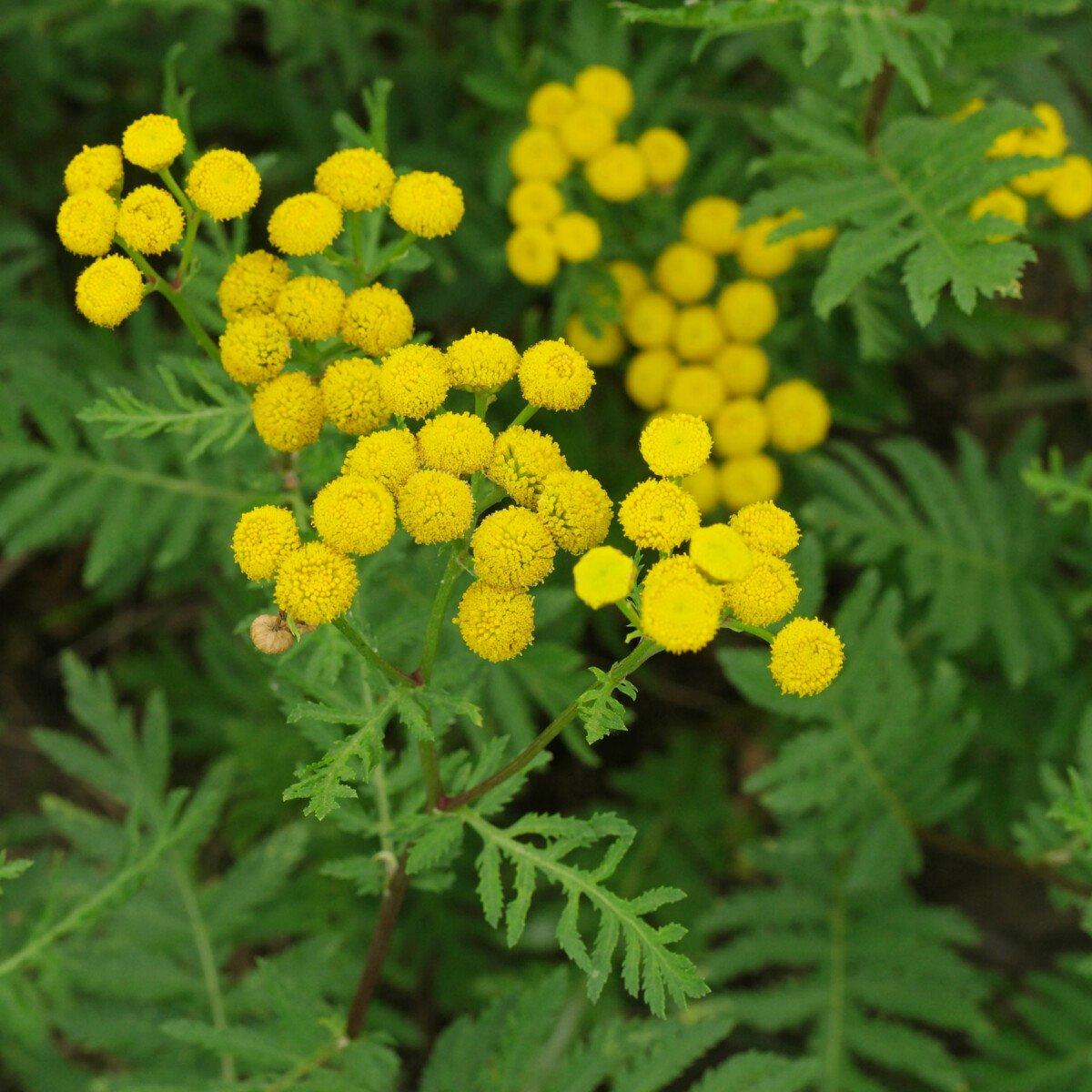 Rainfarn Tanacetum vulgare