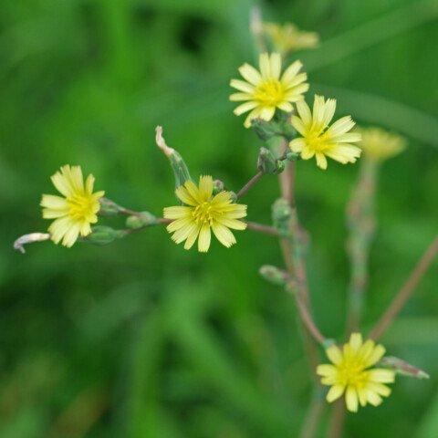 Stachel-Lattich Blüten