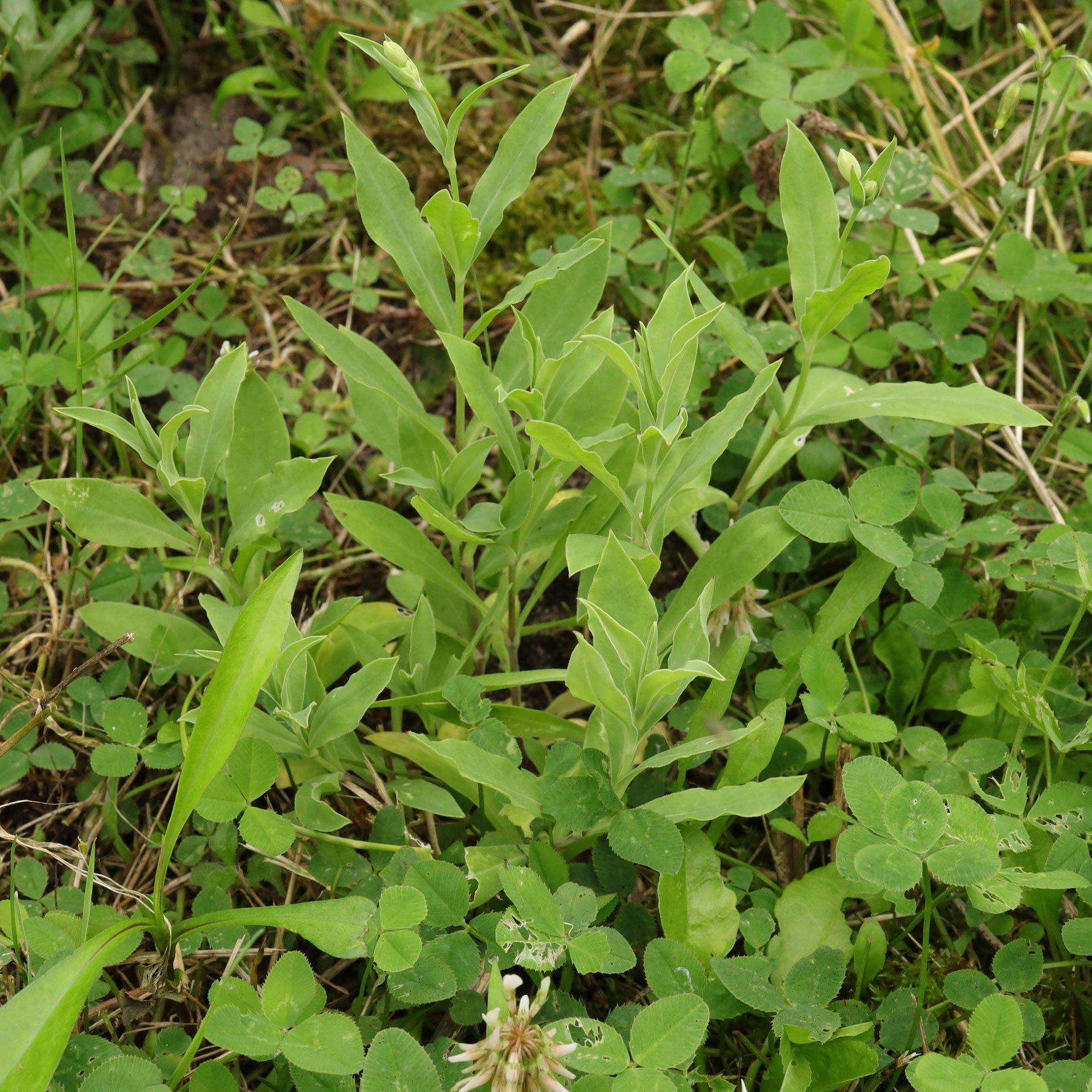 Taubenkropf-Leimkraut im Garten