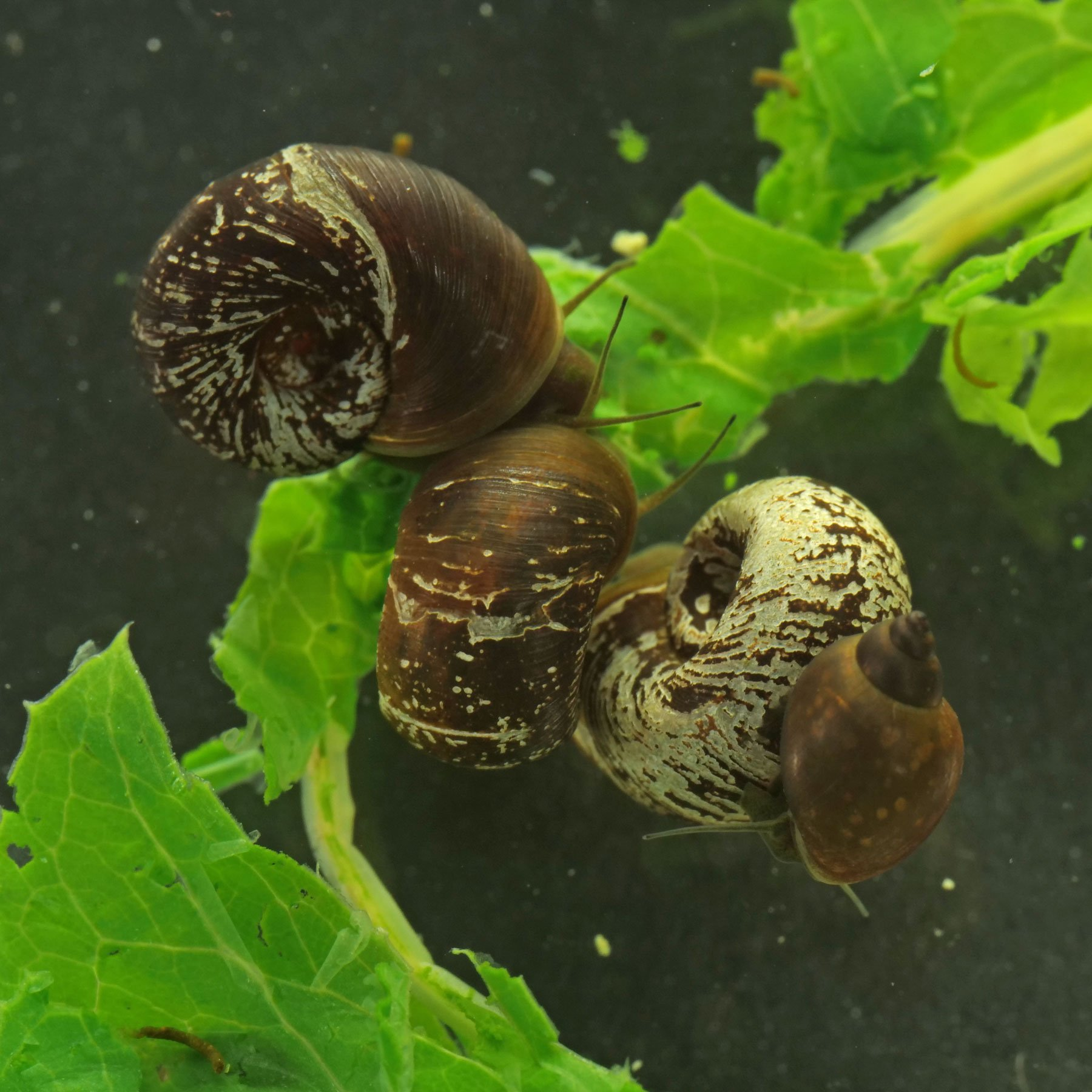 Wasserschnecken fressen Stachel Lattich
