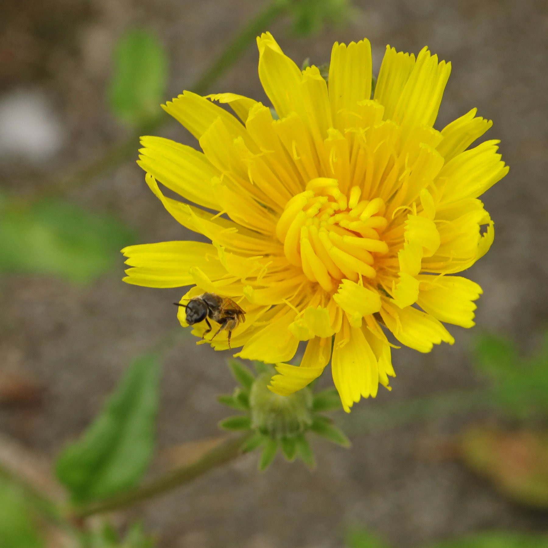 Wildbiene auf Bitterkraut